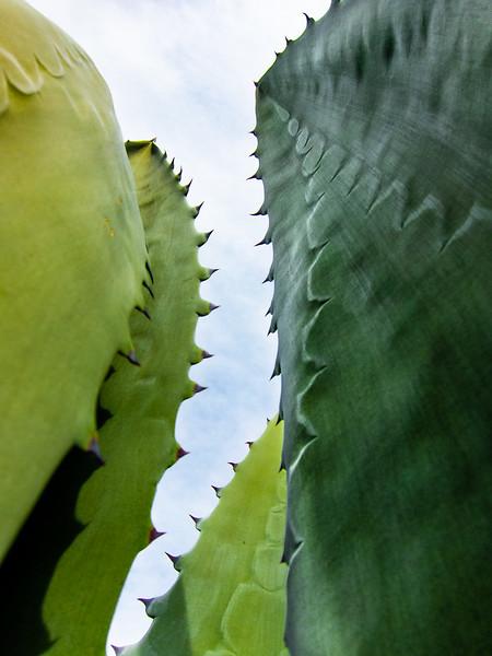 Cactus 1, Campbell, California, 2010