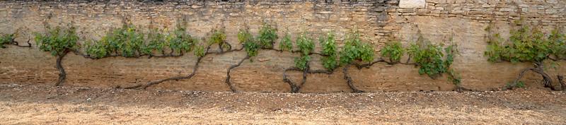 Old Grape Vines hug an Ancient Wall
