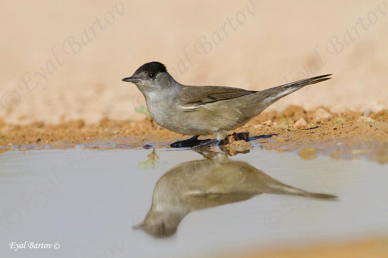 Sardinian Warbler (Sylvia melanocephala) - סבכי שחור כיפה
