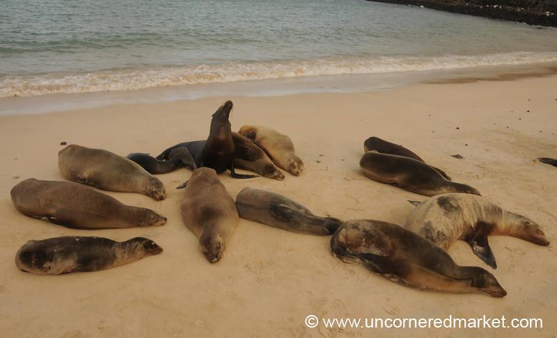 Sea Lion Harem - Galapagos Islands