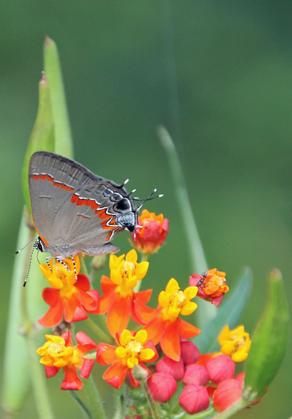 Red-banded Hairstreak 1