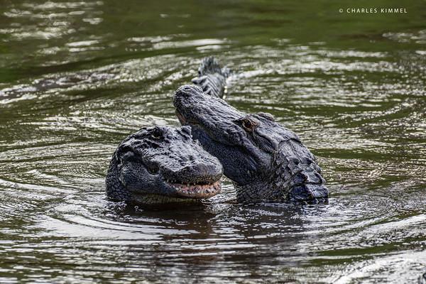 Alligators: 2020