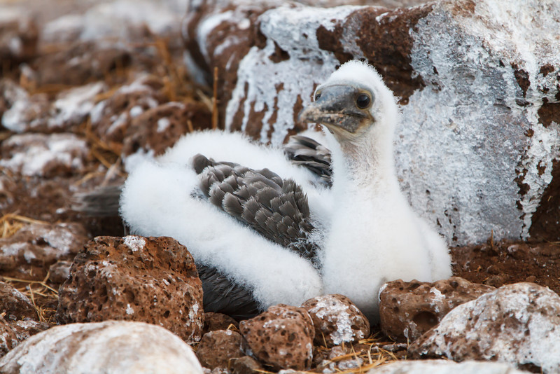 Blue-footed Booby nestling at North Seymour, Galapagos, Ecuador (11-19-2011) - 487.jpg