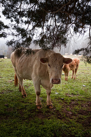 Wet Cows 2/28/20