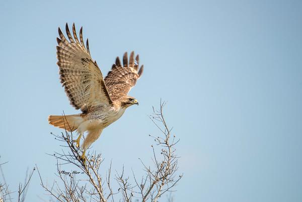Red-tailed Hawk takeoff_DWL7245.jpg
