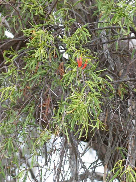 Lysiana exocarpi ssp. exocarpi