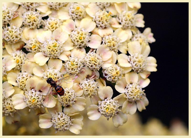Bee On Yarrow