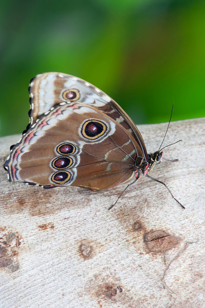 Blue Morpho Butterfly on Reed – Morpho peleides in a Butterfly House