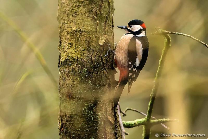 Stor flagspætte (Dendrocopus major - Great Spotted Woodpecker)