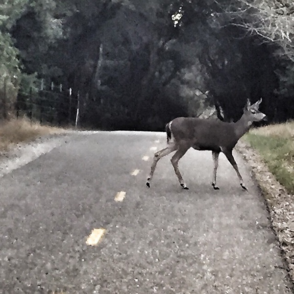 "One of my SF running trail ""partners"" this morning. She looked pretty fast but only moved off the trail to let me pass. Must be quite used to folks in her 'hood at 7:45 a.m."