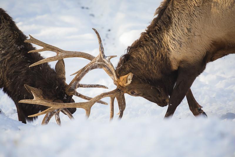 Elk Rut Omega.jpg