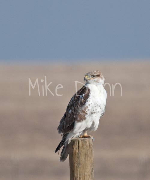 Ferruginous Hawk-44