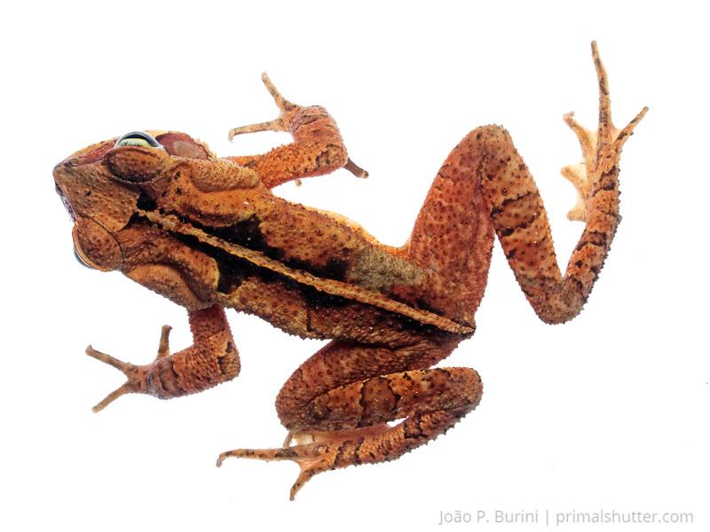 "Bufonid toad, ""sapo cururu"" (Rhinella ornata) Tapiraí, São Paulo, Brazil Atlantic forest (rainforest strictu sensu) August 2015"