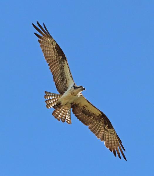 osprey 772.jpg