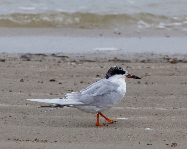 "A Common Tern struts.   ""I am not common!"""