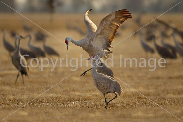 2013 Sandhill Cranes March 16