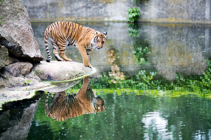 Tiger, Berlin zoo, Germany