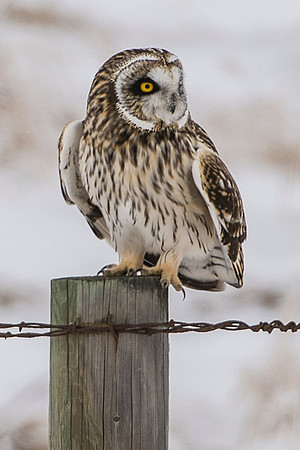 Short-eared Owls, Fog and Frost