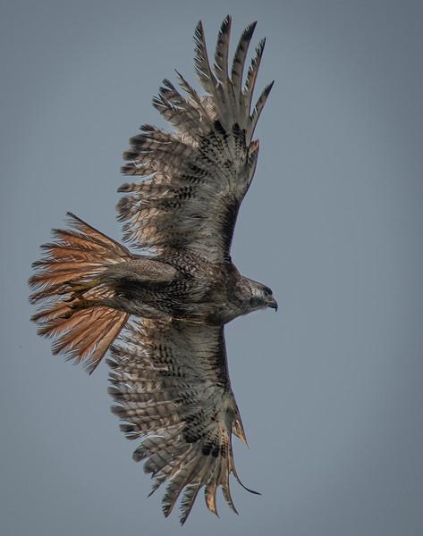 "Red-tail Hawk ""Scrappy"" wingspan"
