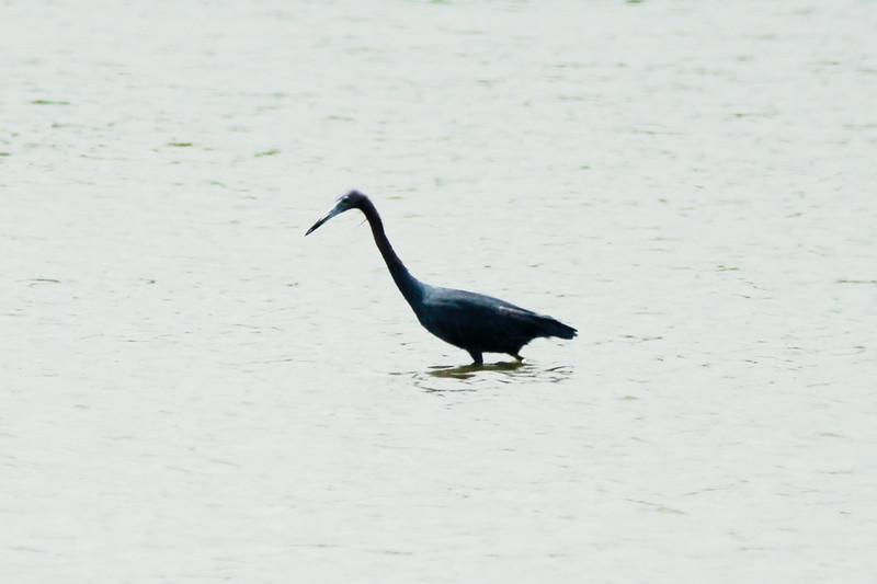 Little Blue Heron @ Horseshoe Lake SP [Causeway]