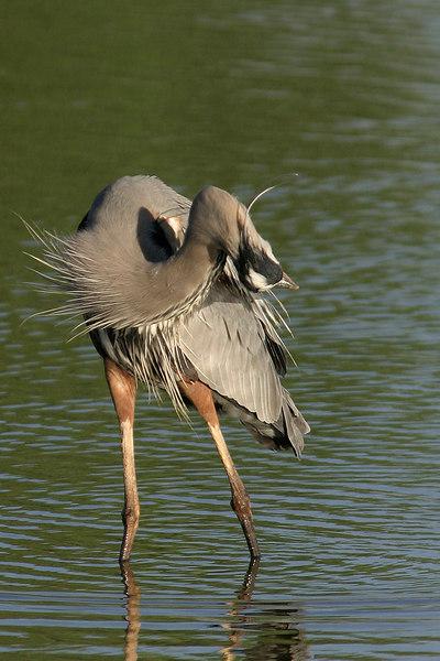 Great Blue Heron, Gilbert, AZ