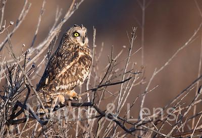 Owls, Short Eared Owls