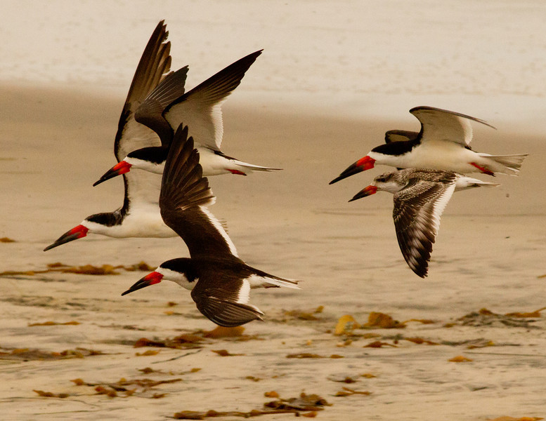 Black Skimmer Ponto Beach Carlsbad 2011 10 06-10.CR2