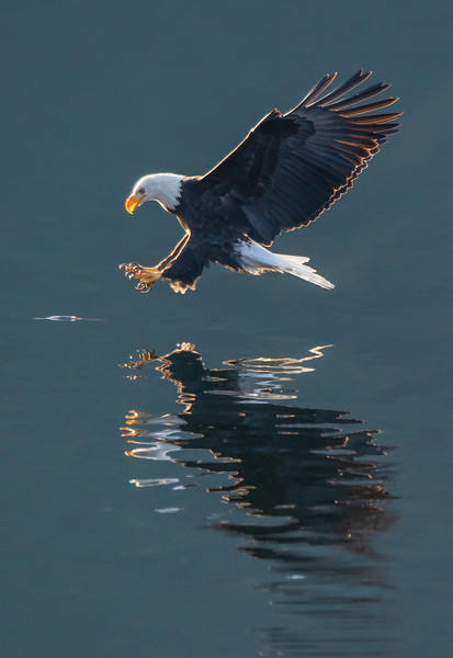 Bald Eagle Backlight