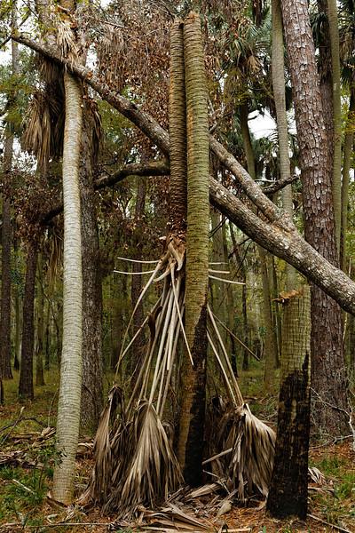 Broken Palm - A palm tree is literally broken in half