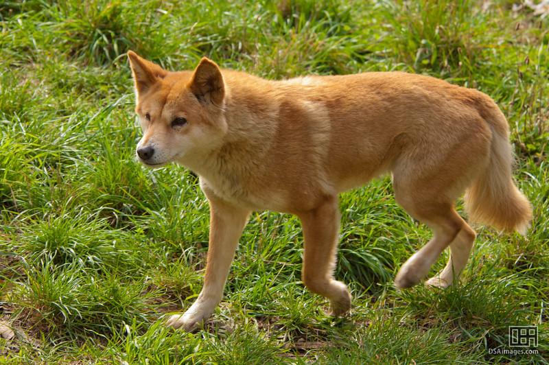 Dingo (Canis lupus dingo)