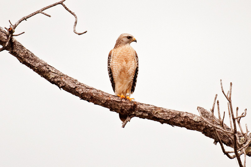 Hawk - Red-shouldered - Corkscrew Swamp, FL - 03