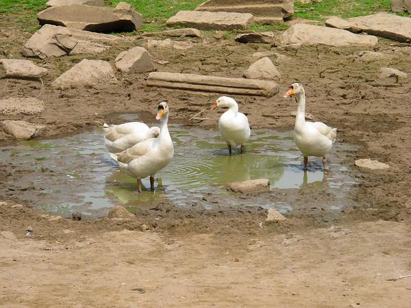 Geese at Bayon