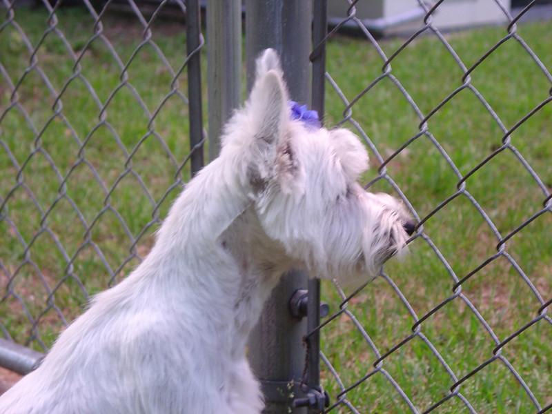 Maggie Looking out the Fence.jpg