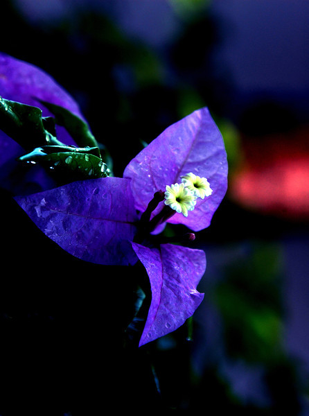Puerto Rico Purple flower.jpg