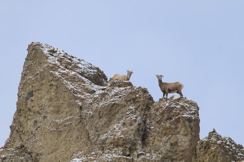 Bighorn ewes scramble on the cliffs above the Gardiner River [October; near Gardiner, Montana, Yellowstone National Park]