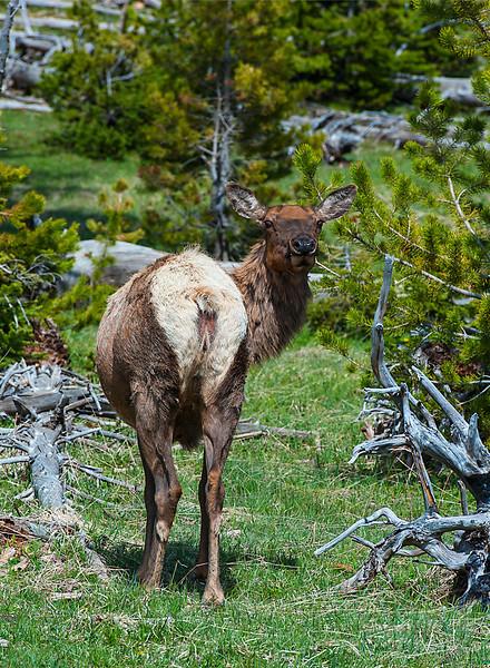 Bovine (Deer, Elk, Moose, Bison, etc.)