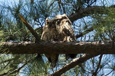 Owl  104