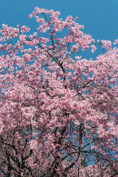 Sakuras in Bloom, Kiso Valley