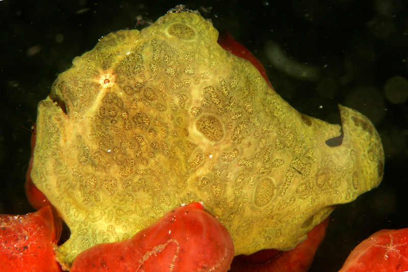 A giant frogfish, perhaps 8-10 inches long. The light from my strobe is playing tricks with its eye.  Lembeh, Indonesia.