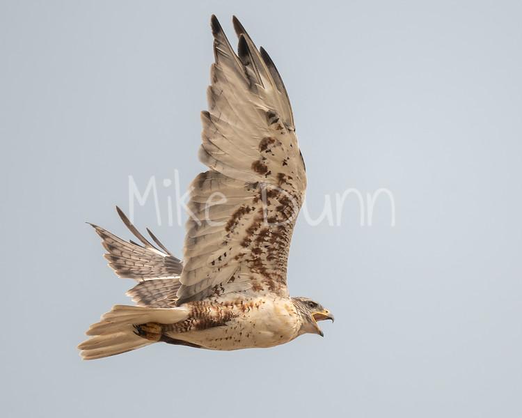 Ferruginous Hawk-170