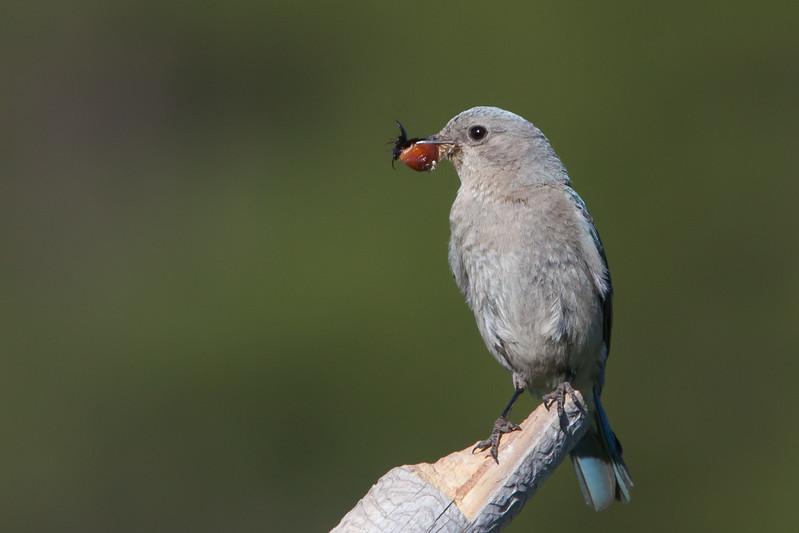 Mountain Bluebird - Female - Kyburz Flats, Near Sierraville, CA, USA