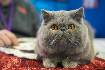 Westminster Kennel Club Dog Show - Cats, 2017