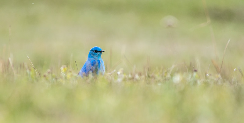 Mountain Bluebird in snow Yellowstone National Park WY DSC04955.jpg