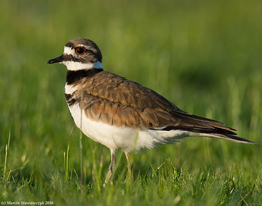Kildeer and Other Plovers