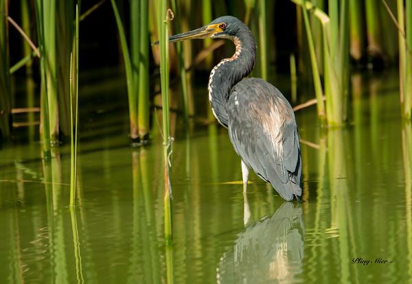Tri-colored Heron PA_DWL5787.jpg