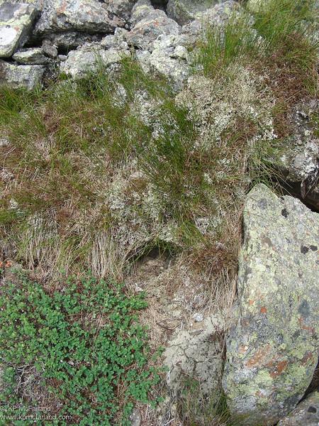 American Pipit, Mount Washington, NH