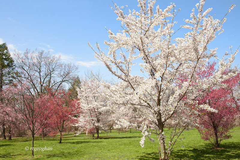 April 16_BranchBrookCherryBlossoms_7334.jpg
