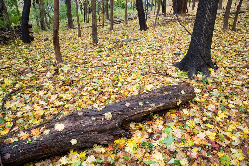Fallen leaves on the ground of a maple grove, Connecticut, USA