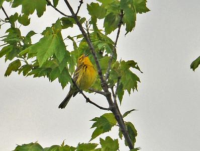Warbler - Prairie