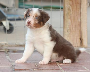 Bluff x Reddy puppies August 2009